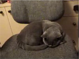 Cat funny clip: Cat sleeping on chair