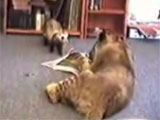 Ferret and lion playing